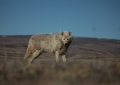 Arctic wolf (Canis lupus arctos) yearling female who I would later name Slender Foot. This was the first time meeting her and I followed her on ATV for several miles. She caught and ate an arctic hare during the follow. I had to leave to deal with camp logistics, which was a hard decision to make. The natural history of Arctic wolves on Ellesmere Island, Cananda. This project originated as a National Geographic Magazine pitch with Kathy Moran (senior natural history editor at National Geographic Magazine). We spoke about the scale of the work and Kathy suggested we pitch it as a join Magazine and NatGeo WILD television project through Janet Han Vissering (Senior Vice President, Development and Production, Nat Geo WILD). The production company was Market Road Films, run by Tony Gerber and based in New York City. There were four of us for the first 7 weeks: Ronan Donovan, Tony Gerber, Luke Padgett and Adam Amir. The project is located on Ellesmere Island in Nunavut Canada. The island is the furthest northern landmass in Canada and is west of Greenland. 40% of the island is permanent icecap with rugged mountains. It's a very harsh place to live. This project focused on 2 different packs of Arctic wolves. The first pack, located at the end of June, was made up of 3 adults and 2 puppies. This pack was located 50 miles to the southeast of the Eureka Weather Station in a place called Wolf Valley, near Vesle Fjord at the base of the Fosheim. The wolves were named for the story, the Wolf Valley Pack - Mom, Dad, Big Sis and The Pups. Mom was probably 5-6 years old, Dad was 7-8 and Big Sis was 2-3 years old. Unbeknownst to me, a biologist - Dean Cluff – had attempted to collar the wolves as this same den 4 years prior and it didn't go well. The female ended up moving the pups after two days of pressure from the biologists and they were unable to collar any of the wolves. As a result, it seemed, the female – Mom – was shy of humans and made filming very challenging