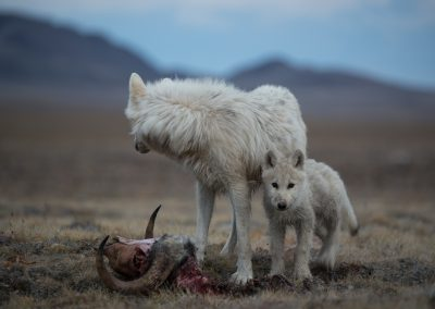 Following the Polygon Pack of Arctic wolf (Canis lupus arctos) from their den site to a new carcass 5 miles to the south. The 4 pups traveled with them and then spent a few days near this carcass. The natural history of Arctic wolves on Ellesmere Island, Cananda. This project originated as a National Geographic Magazine pitch with Kathy Moran (senior natural history editor at National Geographic Magazine). We spoke about the scale of the work and Kathy suggested we pitch it as a join Magazine and NatGeo WILD television project through Janet Han Vissering (Senior Vice President, Development and Production, Nat Geo WILD). The production company was Market Road Films, run by Tony Gerber and based in New York City. There were four of us for the first 7 weeks: Ronan Donovan, Tony Gerber, Luke Padgett and Adam Amir. The project is located on Ellesmere Island in Nunavut Canada. The island is the furthest northern landmass in Canada and is west of Greenland. 40% of the island is permanent icecap with rugged mountains. It's a very harsh place to live. This project focused on 2 different packs of Arctic wolves. The first pack, located at the end of June, was made up of 3 adults and 2 puppies. This pack was located 50 miles to the southeast of the Eureka Weather Station in a place called Wolf Valley, near Vesle Fjord at the base of the Fosheim. The wolves were named for the story, the Wolf Valley Pack - Mom, Dad, Big Sis and The Pups. Mom was probably 5-6 years old, Dad was 7-8 and Big Sis was 2-3 years old. Unbeknownst to me, a biologist - Dean Cluff – had attempted to collar the wolves as this same den 4 years prior and it didn't go well. The female ended up moving the pups after two days of pressure from the biologists and they were unable to collar any of the wolves. As a result, it seemed, the female – Mom – was shy of humans and made filming very challenging. The first month of the project was very challenging as a result of not being able to get closer than