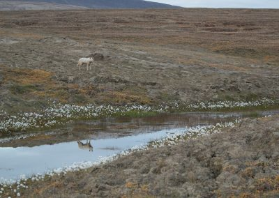Following the Polygon Pack of Arctic wolf (Canis lupus arctos) from their den site to a 15 miles to the south. The 4 pups traveled with them as well and then went to the Eureka Airstrip to hunt for Arctic hares. The natural history of Arctic wolves on Ellesmere Island, Cananda. This project originated as a National Geographic Magazine pitch with Kathy Moran (senior natural history editor at National Geographic Magazine). We spoke about the scale of the work and Kathy suggested we pitch it as a join Magazine and NatGeo WILD television project through Janet Han Vissering (Senior Vice President, Development and Production, Nat Geo WILD). The production company was Market Road Films, run by Tony Gerber and based in New York City. There were four of us for the first 7 weeks: Ronan Donovan, Tony Gerber, Luke Padgett and Adam Amir. The project is located on Ellesmere Island in Nunavut Canada. The island is the furthest northern landmass in Canada and is west of Greenland. 40% of the island is permanent icecap with rugged mountains. It's a very harsh place to live. This project focused on 2 different packs of Arctic wolves. The first pack, located at the end of June, was made up of 3 adults and 2 puppies. This pack was located 50 miles to the southeast of the Eureka Weather Station in a place called Wolf Valley, near Vesle Fjord at the base of the Fosheim. The wolves were named for the story, the Wolf Valley Pack - Mom, Dad, Big Sis and The Pups. Mom was probably 5-6 years old, Dad was 7-8 and Big Sis was 2-3 years old. Unbeknownst to me, a biologist - Dean Cluff – had attempted to collar the wolves as this same den 4 years prior and it didn't go well. The female ended up moving the pups after two days of pressure from the biologists and they were unable to collar any of the wolves. As a result, it seemed, the female – Mom – was shy of humans and made filming very challenging. The first month of the project was very challenging as a result of not being able to