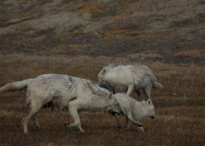 Playing while following the Polygon Pack of Arctic wolf (Canis lupus arctos) from an area near the Eureka Weather Station back to the north, 15 miles, towards their den and core home range. The natural history of Arctic wolves on Ellesmere Island, Cananda. This project originated as a National Geographic Magazine pitch with Kathy Moran (senior natural history editor at National Geographic Magazine). We spoke about the scale of the work and Kathy suggested we pitch it as a join Magazine and NatGeo WILD television project through Janet Han Vissering (Senior Vice President, Development and Production, Nat Geo WILD). The production company was Market Road Films, run by Tony Gerber and based in New York City. There were four of us for the first 7 weeks: Ronan Donovan, Tony Gerber, Luke Padgett and Adam Amir. The project is located on Ellesmere Island in Nunavut Canada. The island is the furthest northern landmass in Canada and is west of Greenland. 40% of the island is permanent icecap with rugged mountains. It's a very harsh place to live. This project focused on 2 different packs of Arctic wolves. The first pack, located at the end of June, was made up of 3 adults and 2 puppies. This pack was located 50 miles to the southeast of the Eureka Weather Station in a place called Wolf Valley, near Vesle Fjord at the base of the Fosheim. The wolves were named for the story, the Wolf Valley Pack - Mom, Dad, Big Sis and The Pups. Mom was probably 5-6 years old, Dad was 7-8 and Big Sis was 2-3 years old. Unbeknownst to me, a biologist - Dean Cluff – had attempted to collar the wolves as this same den 4 years prior and it didn't go well. The female ended up moving the pups after two days of pressure from the biologists and they were unable to collar any of the wolves. As a result, it seemed, the female – Mom – was shy of humans and made filming very challenging. The first month of the project was very challenging as a result of not being able to get closer than ¼ mil