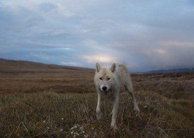 One-eye, the 3 year old female wolf of the Polygon Pack of Arctic wolf (Canis lupus arctos) inspects me. Polygon Pack of Arctic wolf (Canis lupus arctos) traveling east after successfully killing a calf muskoxen. The adults went to the den, but the pups stayed below in the polygon ponds and howled for the adults to come down. The pups might have just been exhausted and needed to sleep. The natural history of Arctic wolves on Ellesmere Island, Cananda. This project originated as a National Geographic Magazine pitch with Kathy Moran (senior natural history editor at National Geographic Magazine). We spoke about the scale of the work and Kathy suggested we pitch it as a join Magazine and NatGeo WILD television project through Janet Han Vissering (Senior Vice President, Development and Production, Nat Geo WILD). The production company was Market Road Films, run by Tony Gerber and based in New York City. There were four of us for the first 7 weeks: Ronan Donovan, Tony Gerber, Luke Padgett and Adam Amir. The project is located on Ellesmere Island in Nunavut Canada. The island is the furthest northern landmass in Canada and is west of Greenland. 40% of the island is permanent icecap with rugged mountains. It's a very harsh place to live. This project focused on 2 different packs of Arctic wolves. The first pack, located at the end of June, was made up of 3 adults and 2 puppies. This pack was located 50 miles to the southeast of the Eureka Weather Station in a place called Wolf Valley, near Vesle Fjord at the base of the Fosheim. The wolves were named for the story, the Wolf Valley Pack - Mom, Dad, Big Sis and The Pups. Mom was probably 5-6 years old, Dad was 7-8 and Big Sis was 2-3 years old. Unbeknownst to me, a biologist - Dean Cluff – had attempted to collar the wolves as this same den 4 years prior and it didn't go well. The female ended up moving the pups after two days of pressure from the biologists and they were unable to collar any of the wolves. As a res