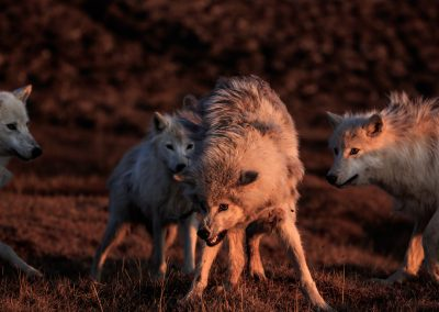A strange encounter with an unknown wolf. The lone wolf didn't run away when it saw the Polygon Pack, but rather waited and lay submissive on the ground. The whole pack greeted her as if they knew her and the pups even jumped on top with excitement. Then it got a little rough, but was still playful. The lone wolf clearly became scared, but the Polygon Pack never really escalated the interaction passed playful. Following the Polygon Pack of Arctic wolf (Canis lupus arctos) headed west to hunt, lead by Clean Coat. They spent 8 hours hunting and were unsuccessful. White Scarf eventually howled to the pack for them to break off from hunting and return to her and the pups. White Scarf was weakened by this time, limping and frail. This was the last time I saw White Scarf, she disappeared the next time I found the pack, presumed dead and was never seen again. They travelled along the shoreline of Greely Fjord before heading back to the east. The natural history of Arctic wolves on Ellesmere Island, Cananda. This project originated as a National Geographic Magazine pitch with Kathy Moran (senior natural history editor at National Geographic Magazine). We spoke about the scale of the work and Kathy suggested we pitch it as a join Magazine and NatGeo WILD television project through Janet Han Vissering (Senior Vice President, Development and Production, Nat Geo WILD). The production company was Market Road Films, run by Tony Gerber and based in New York City. There were four of us for the first 7 weeks: Ronan Donovan, Tony Gerber, Luke Padgett and Adam Amir. The project is located on Ellesmere Island in Nunavut Canada. The island is the furthest northern landmass in Canada and is west of Greenland. 40% of the island is permanent icecap with rugged mountains. It's a very harsh place to live. This project focused on 2 different packs of Arctic wolves. The first pack, located at the end of June, was made up of 3 adults and 2 puppies. This pack was located 50 miles to the s