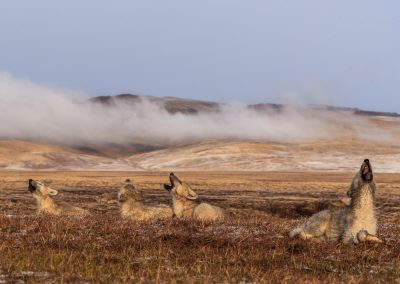 The Polygon Pack of Arctic wolf (Canis lupus arctos) returns to the north, to their core home range in the area of the den. They seemed to be unsettled in looking for White Scarf, who is their leader and oldest female and disappeared. They return to the same large male muskox carcass as the one I found them at. They would spend 3 days there. Eating rotten meat and chewing on bones and waiting. Some of the adults would go off and leave for 5-10 hours and return. The natural history of Arctic wolves on Ellesmere Island, Cananda. This project originated as a National Geographic Magazine pitch with Kathy Moran (senior natural history editor at National Geographic Magazine). We spoke about the scale of the work and Kathy suggested we pitch it as a join Magazine and NatGeo WILD television project through Janet Han Vissering (Senior Vice President, Development and Production, Nat Geo WILD). The production company was Market Road Films, run by Tony Gerber and based in New York City. There were four of us for the first 7 weeks: Ronan Donovan, Tony Gerber, Luke Padgett and Adam Amir. The project is located on Ellesmere Island in Nunavut Canada. The island is the furthest northern landmass in Canada and is west of Greenland. 40% of the island is permanent icecap with rugged mountains. It's a very harsh place to live. This project focused on 2 different packs of Arctic wolves. The first pack, located at the end of June, was made up of 3 adults and 2 puppies. This pack was located 50 miles to the southeast of the Eureka Weather Station in a place called Wolf Valley, near Vesle Fjord at the base of the Fosheim. The wolves were named for the story, the Wolf Valley Pack - Mom, Dad, Big Sis and The Pups. Mom was probably 5-6 years old, Dad was 7-8 and Big Sis was 2-3 years old. Unbeknownst to me, a biologist - Dean Cluff – had attempted to collar the wolves as this same den 4 years prior and it didn't go well. The female ended up moving the pups after two days of pressure f